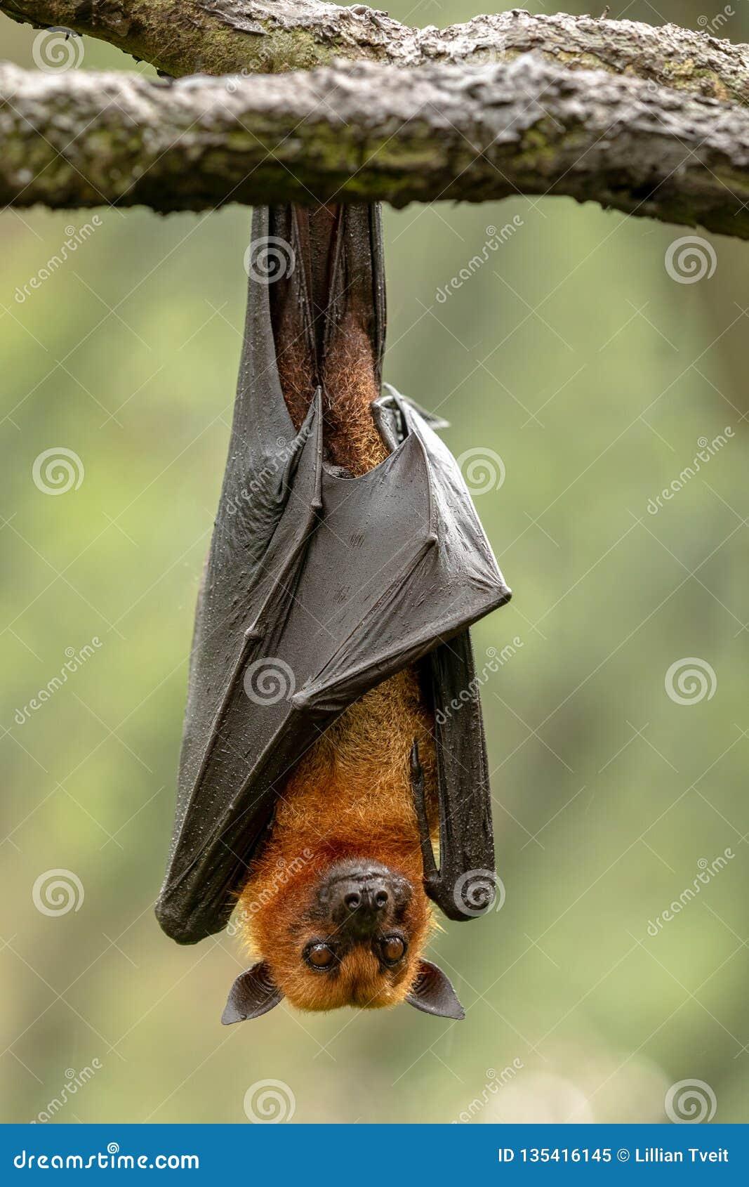 Großer malaiischer Flughund, Pteropus vampyrus, Schläger, der von einer Niederlassung hängt