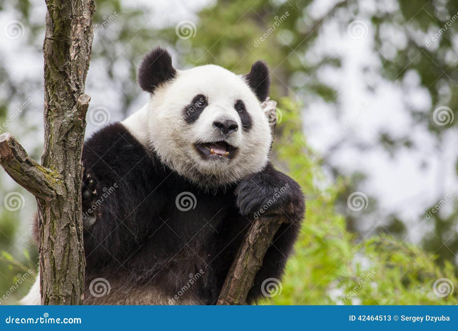 Großer Panda auf dem Baum