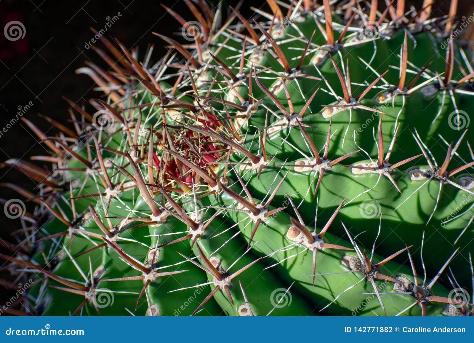 Großer runder Kaktus, Abschluss oben, selektive Ansicht