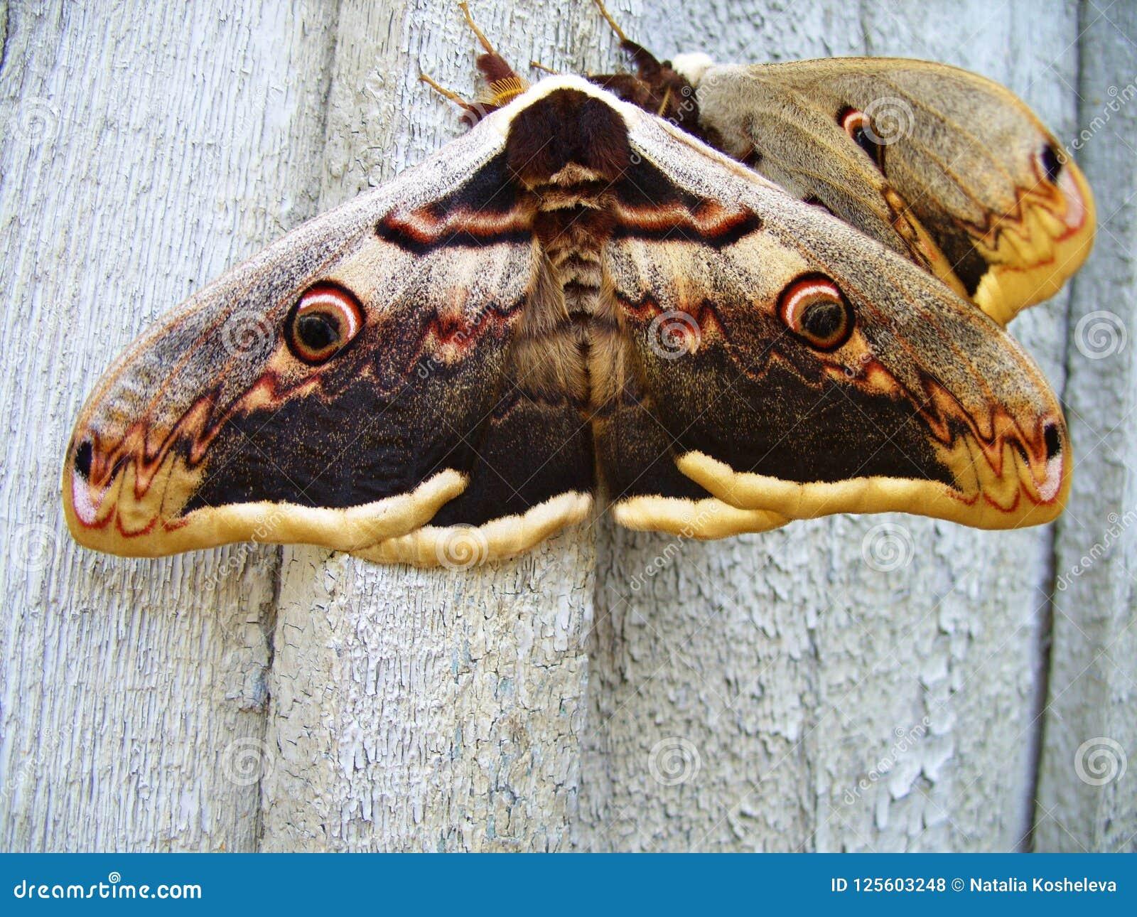 Großer Schmetterling auf der Wand
