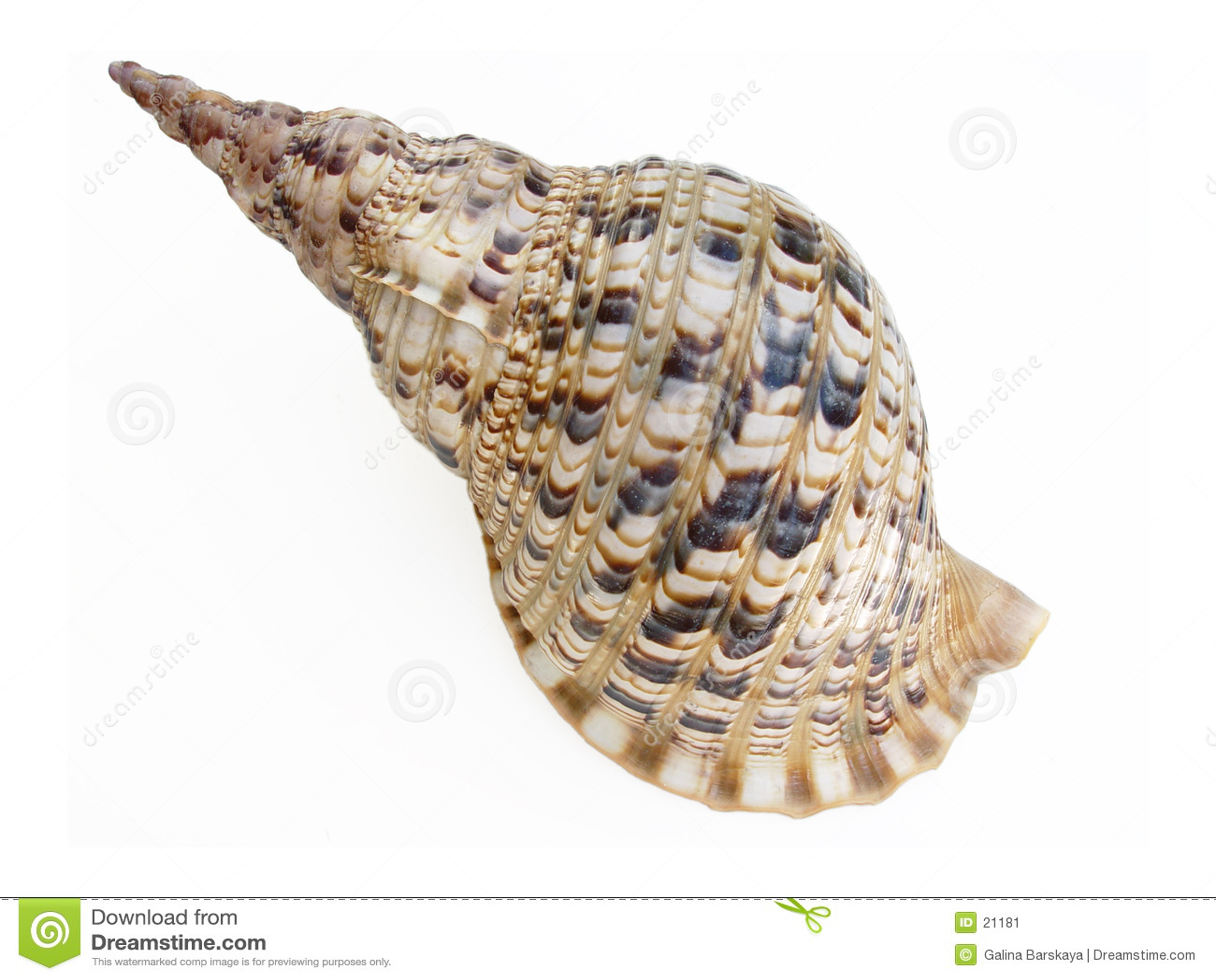 Großer Seashell