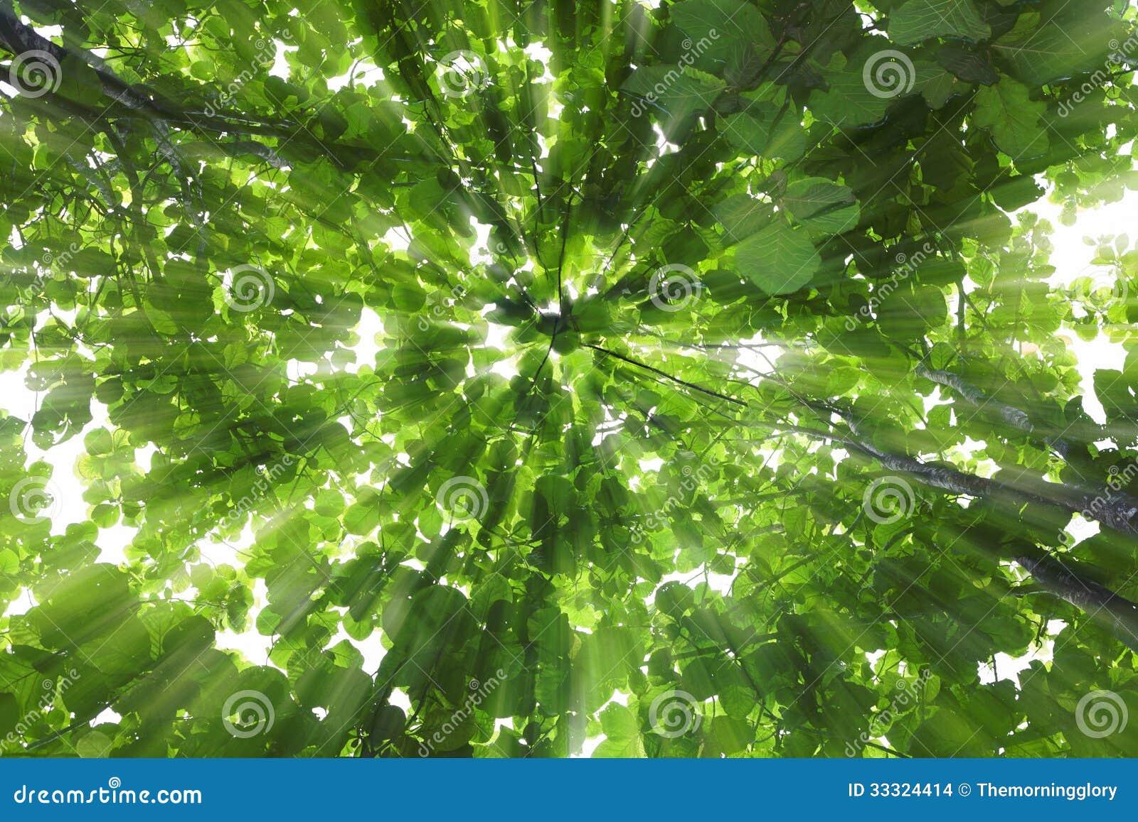 Teakholzbaum  Großer Teakholzbaum Mit Sonnenlicht Stockfoto - Bild von morgen ...