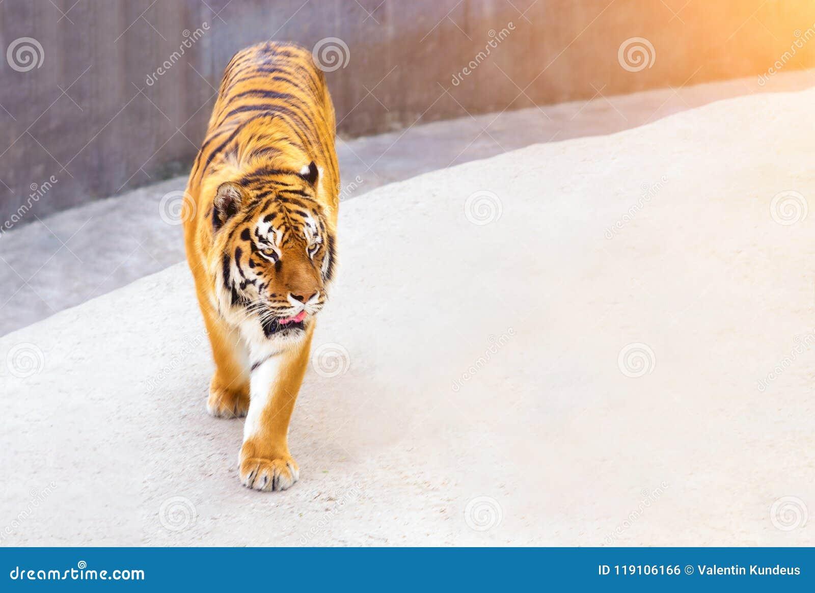 Großer Tigermann im Naturlebensraum Tigerweg während der goldenen hellen Zeit Szene der wild lebenden Tiere mit Gefahrentier