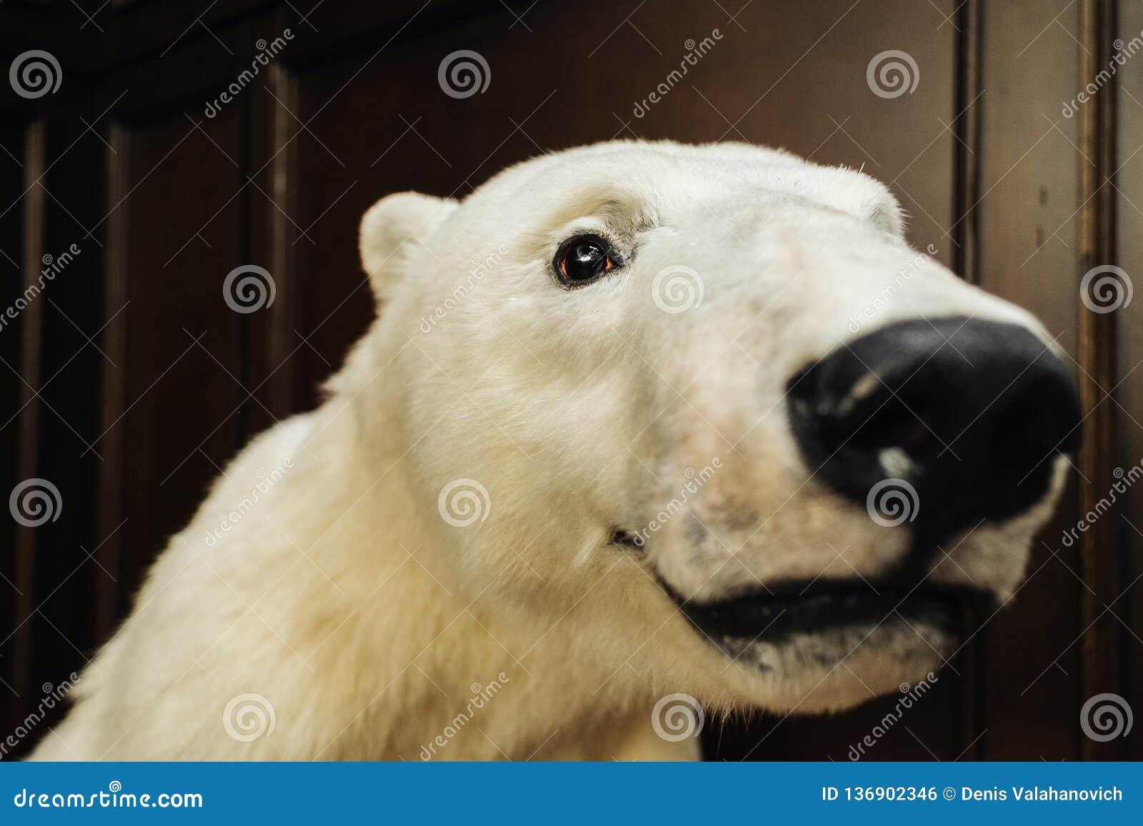 Großer weißer Bär betrachtet Kamera
