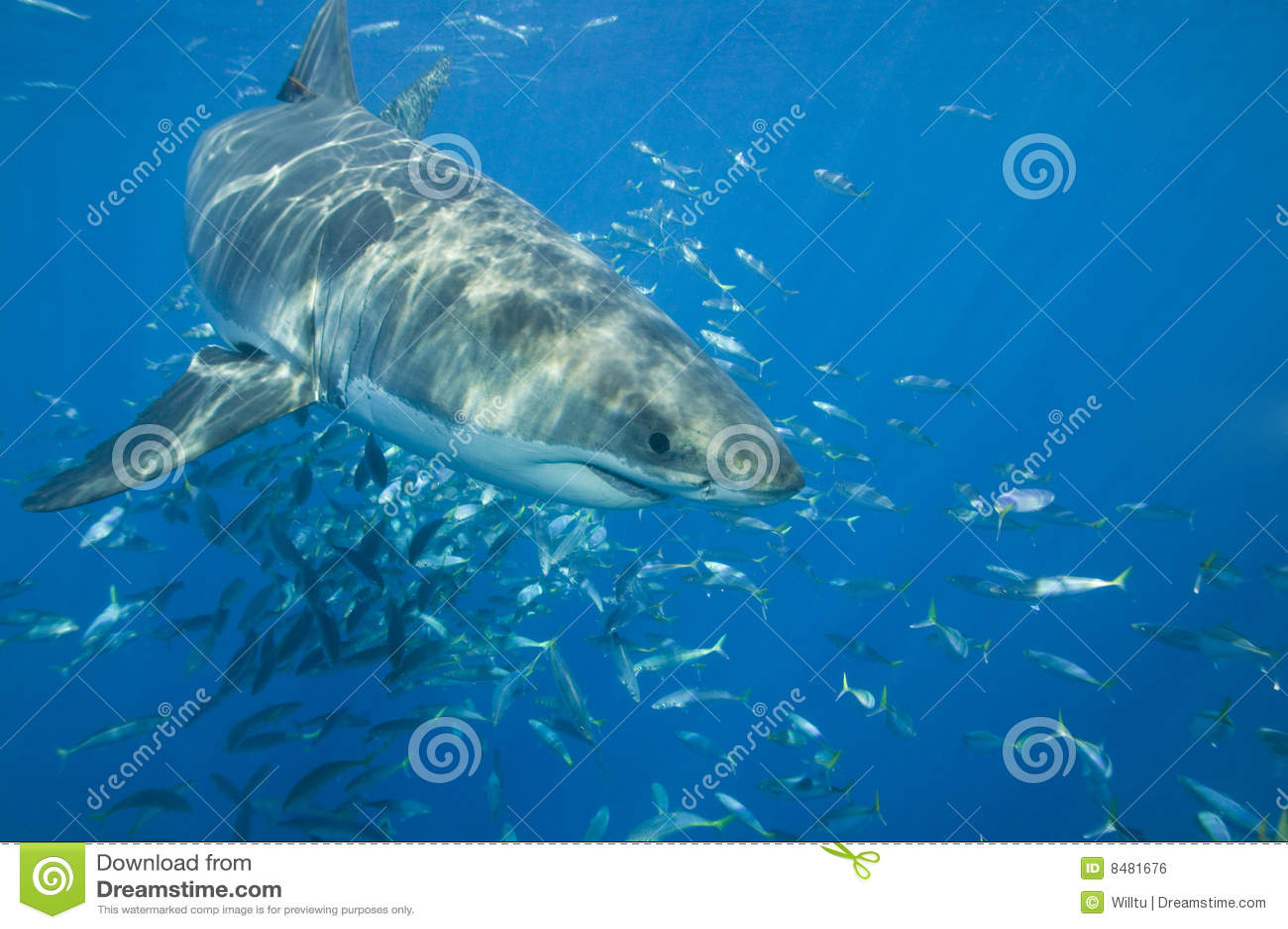 Großer weißer Haifisch