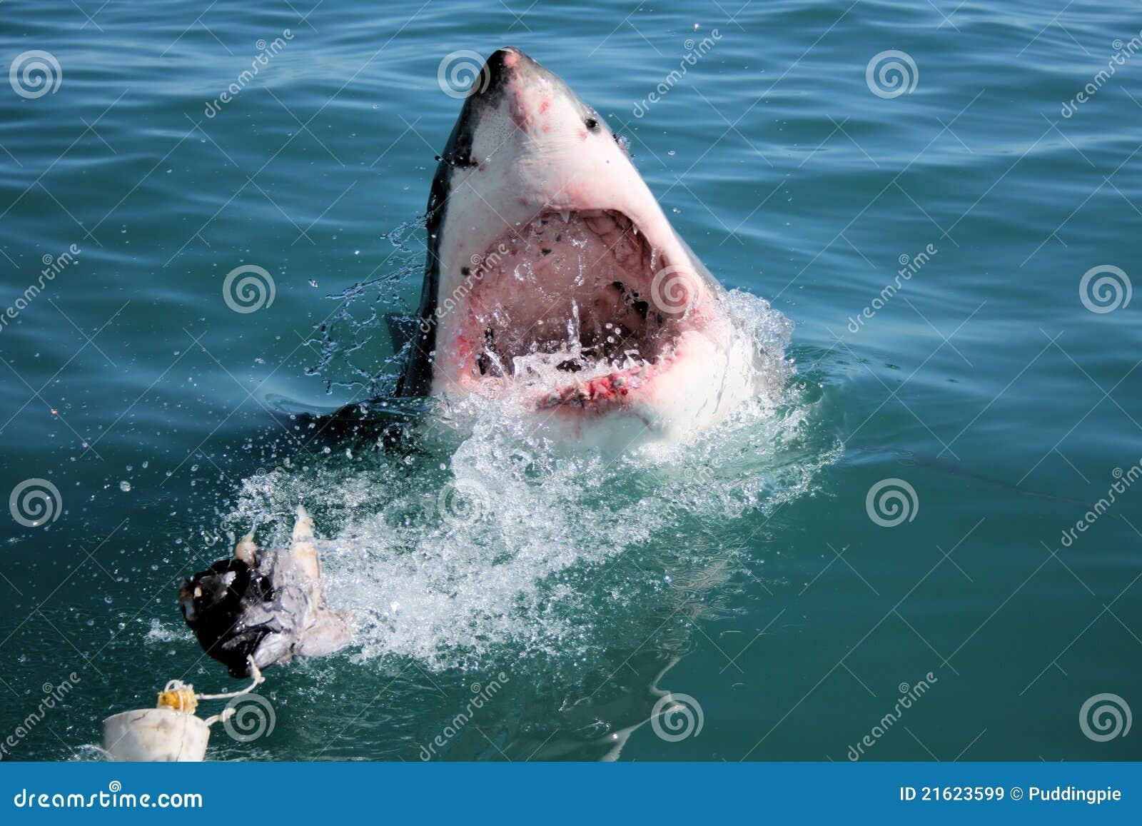 Großer weißer Haifisch - CarcharodonCarcharias