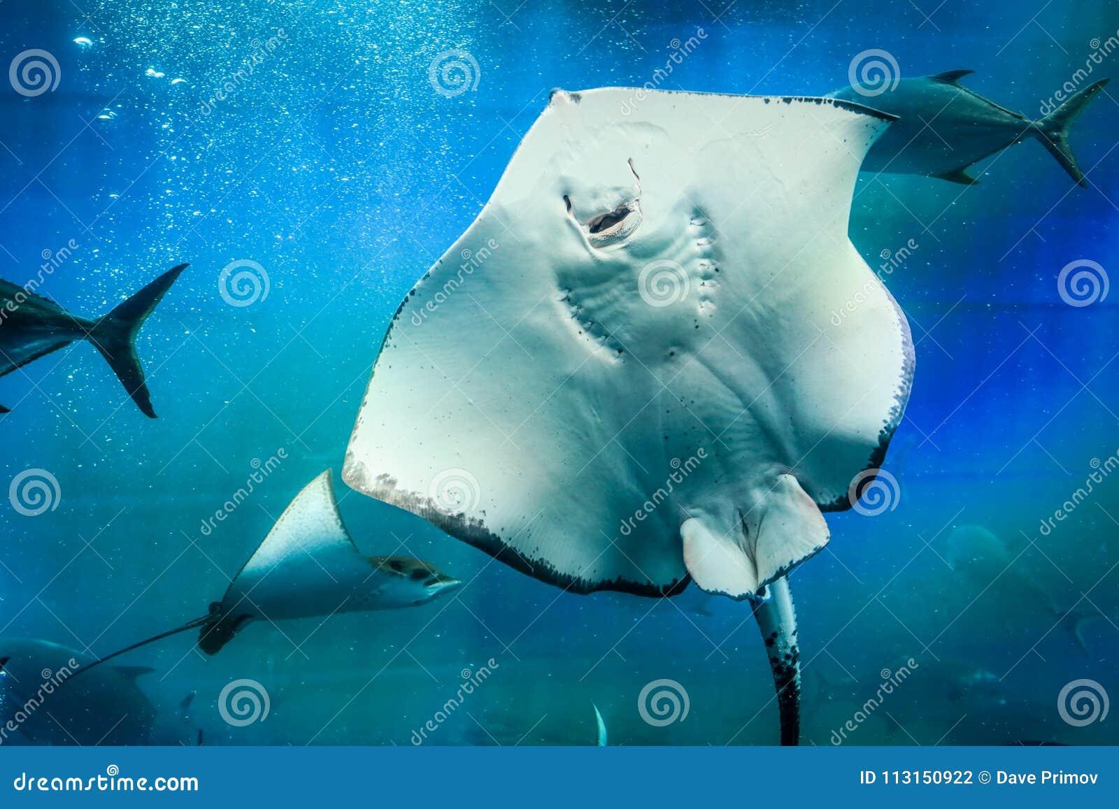 Großer Weißer Stechrochen Im Blauen Wasser Stockfoto Bild Von