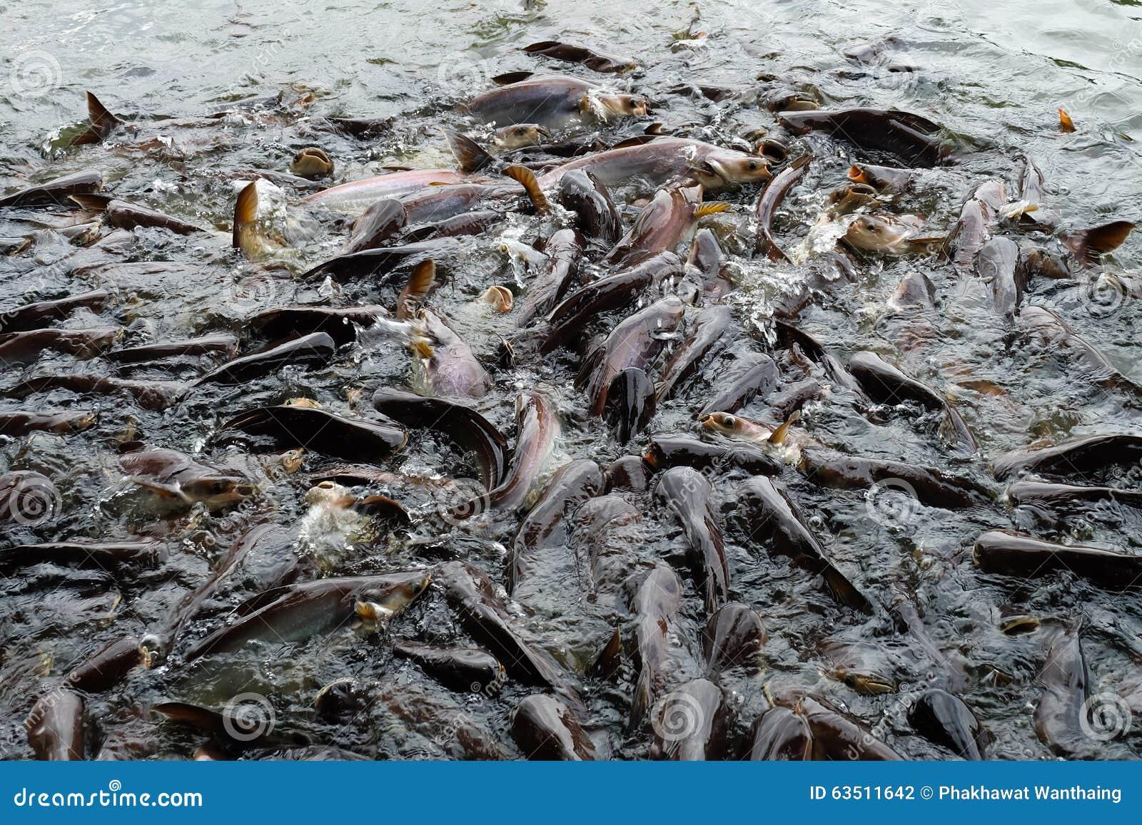 Atemberaubend Großer Wels im Teich stockfoto. Bild von wels, viele - 63511642 @UM_97