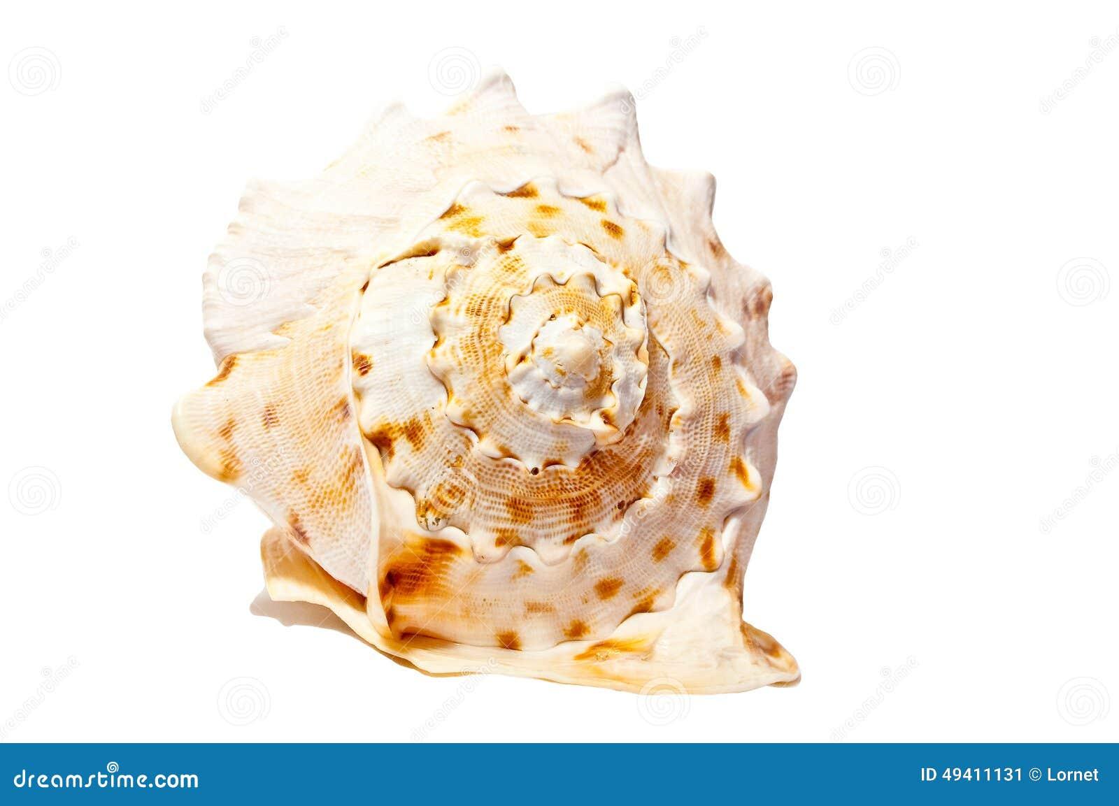 Download Großes Ð-¡ OckleSHELL Lokalisiert Auf Weiß Stockbild - Bild von weiß, cockleshell: 49411131