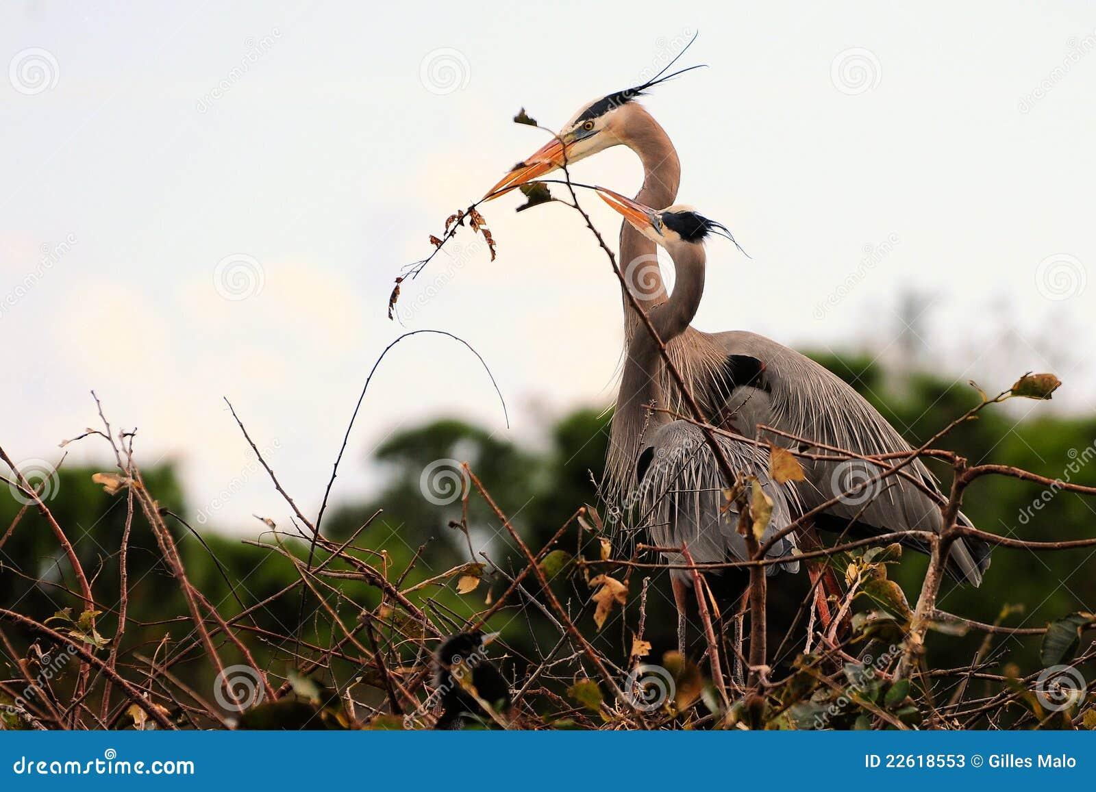 Großes Blau-Reiher, die ein Nest aufbauen