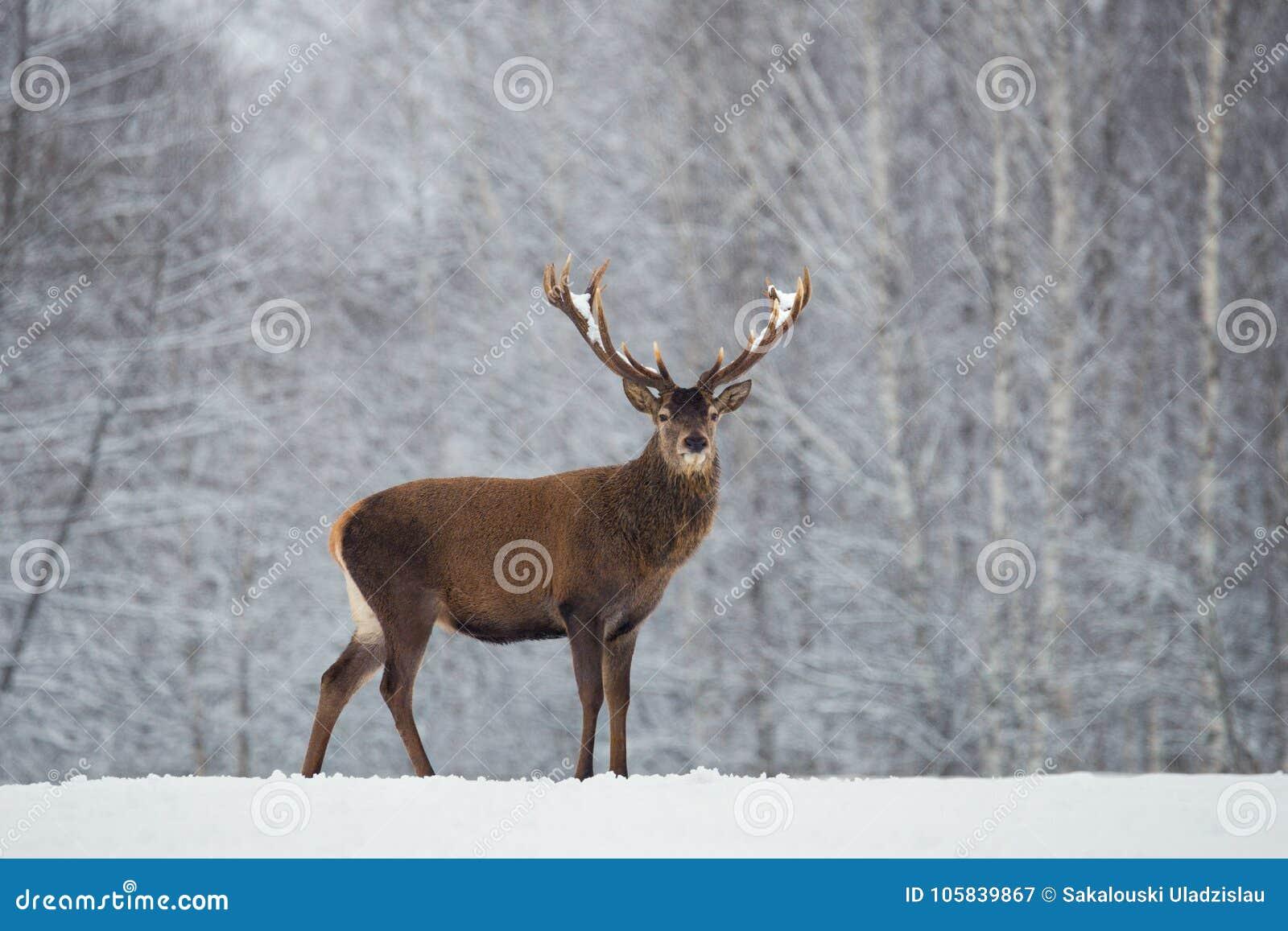 Großes erwachsenes edles Rotwild mit großen schönen Hörnern auf schneebedecktem Feld auf Waldhintergrund Cervus Elaphus Rotwild-H