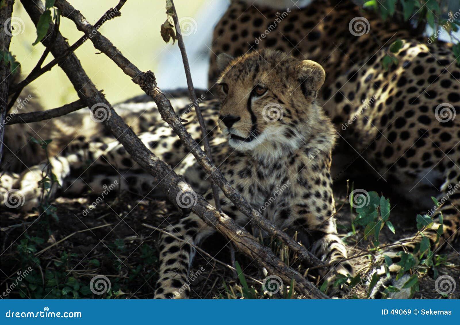 Großes Gepardjunges