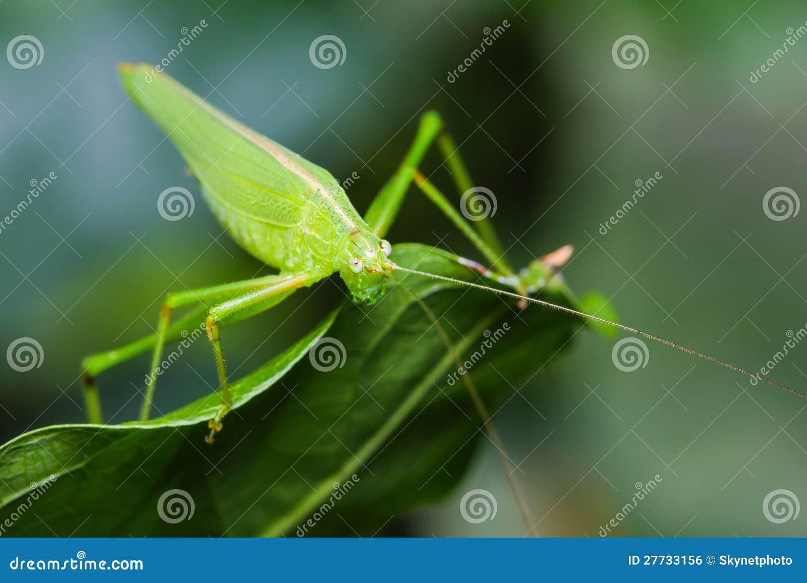 Großes grünes bushcricket