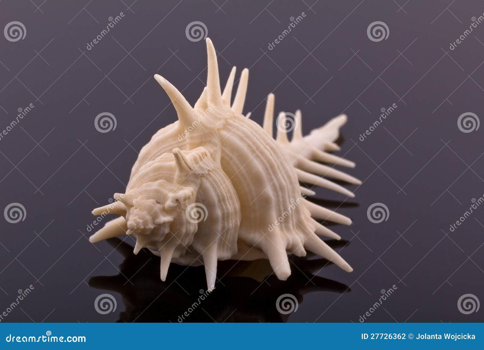 Großes Skelett des Seeshells - Makro