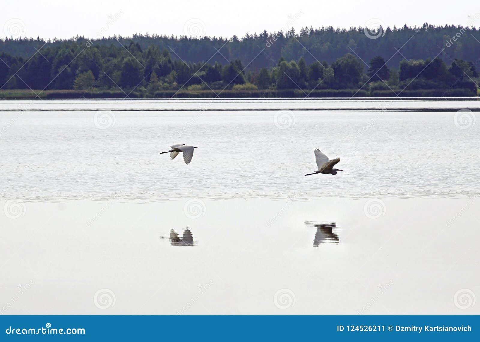 Großes Weiß-Reiher Sommertag in August Lake vögel Wasser und Reflexion