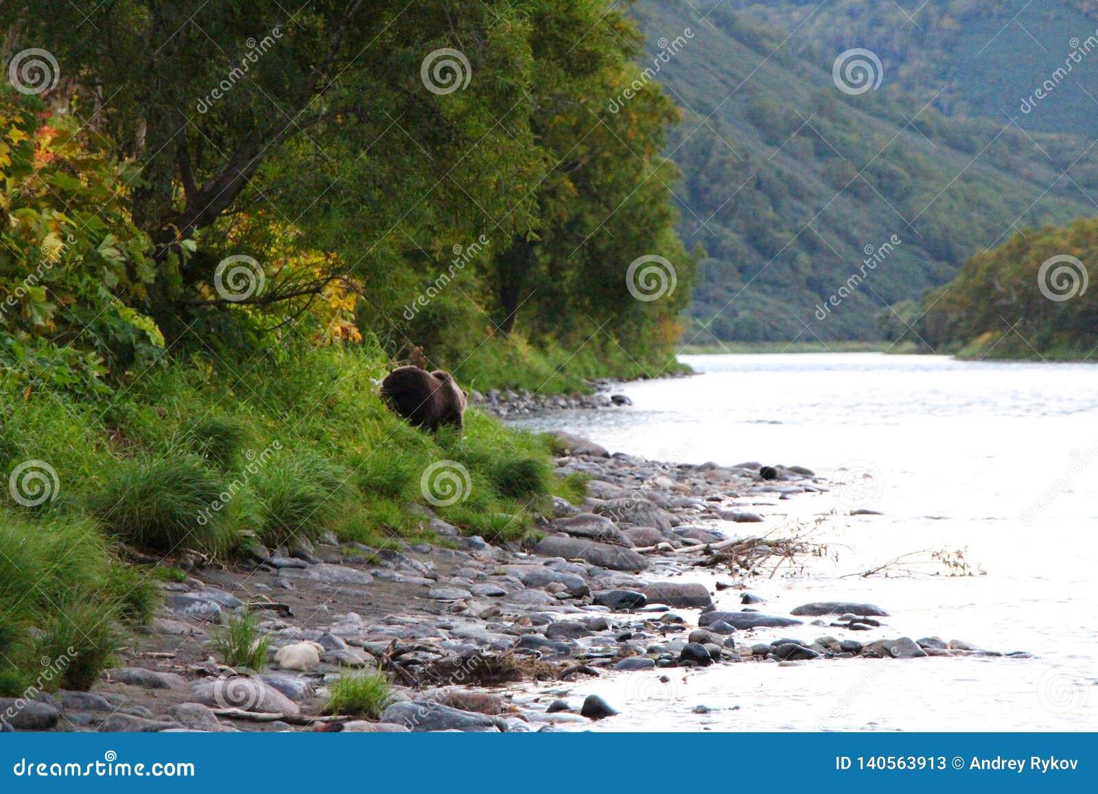Großer wilder Bär geht durch Fluss