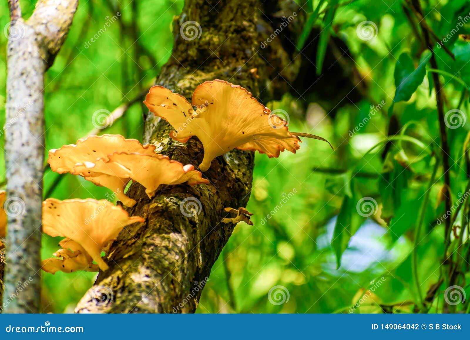 Gro?er Pilz Calluna gemein oder gemeiner Heather, Heidekraut oder essbarer Pilz, die in der Baumrinde und im Moos wachsen Nachmit