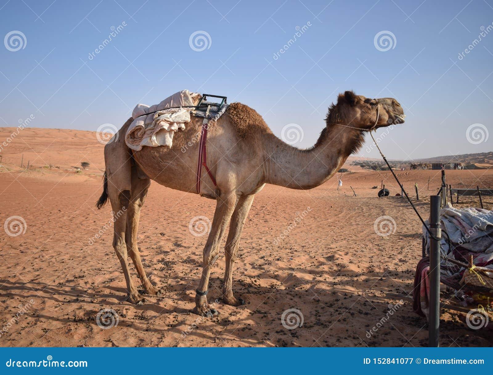 Gro?es Kamel in der W?ste