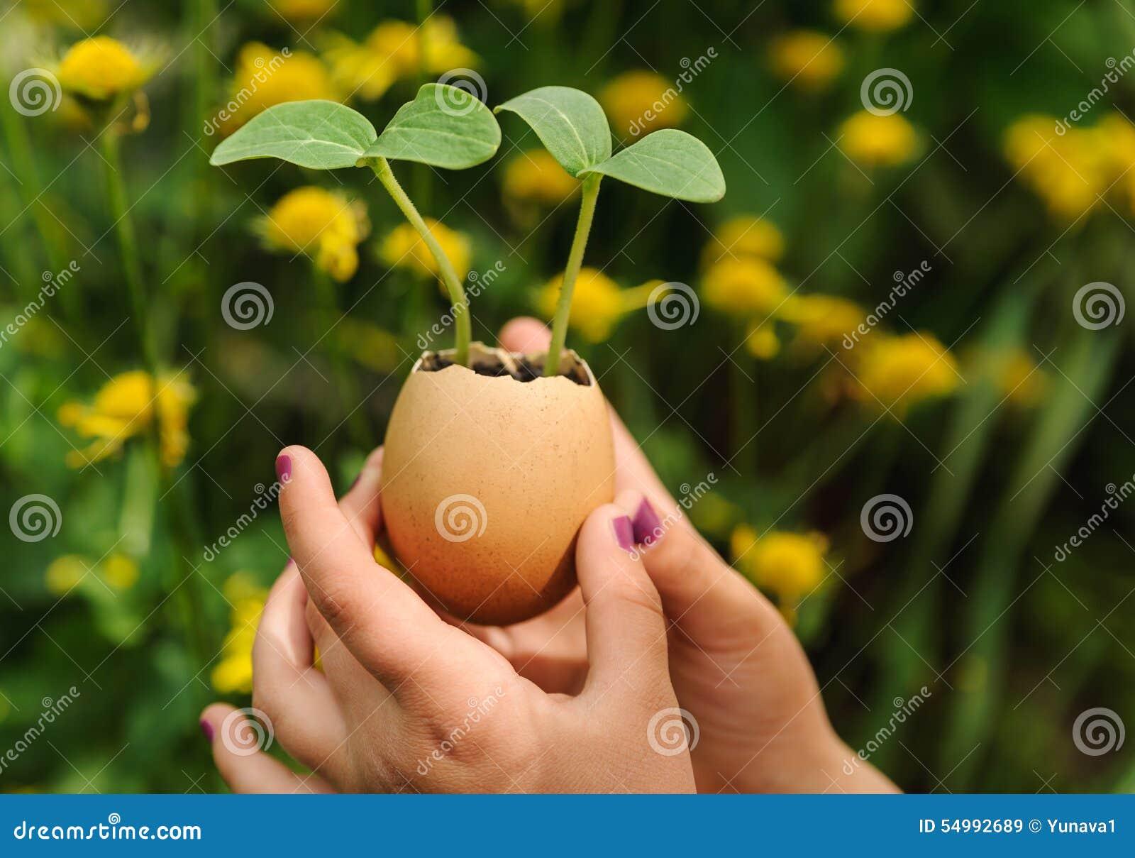 Groddar som växer från ett äggskal