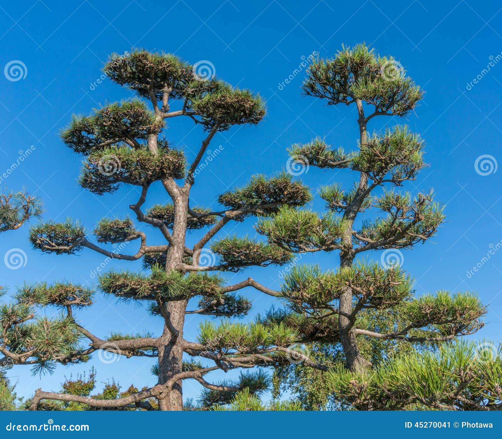 gro e bonsai b ume stockfoto bild 45270041. Black Bedroom Furniture Sets. Home Design Ideas