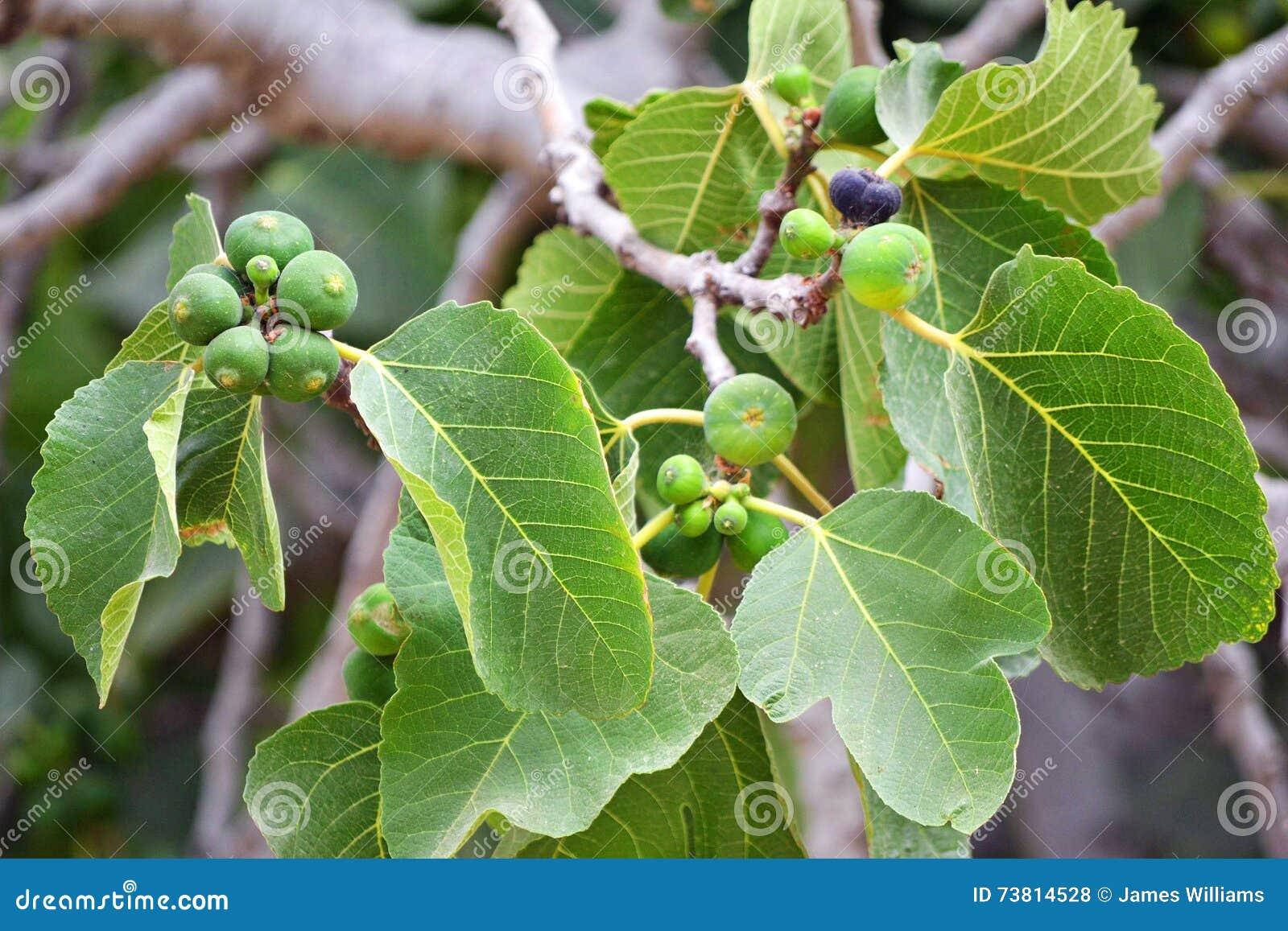 Groeiende fig.