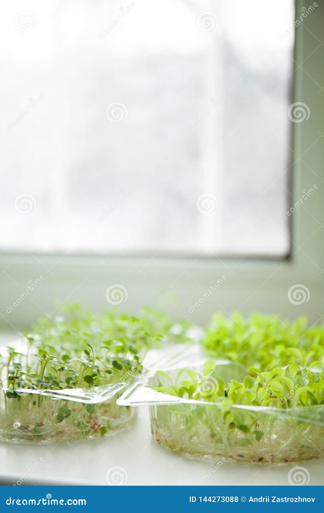 Groeiende micro- greens op de vensterbank van het huis
