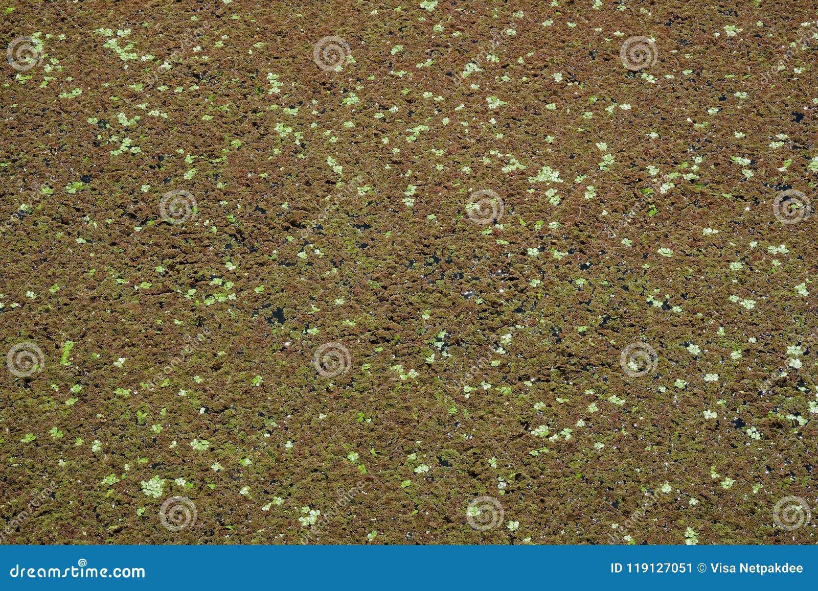 Groen algen en eendekroos in het water