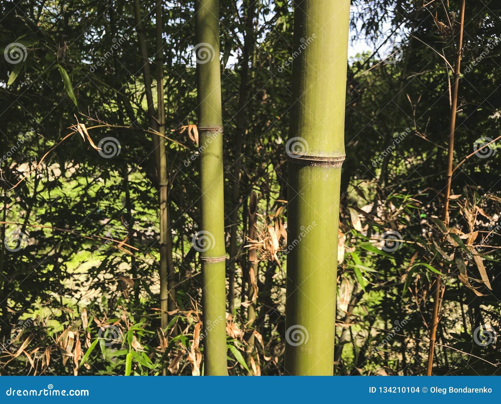 Groen bamboe in het bosje, Zuid-Korea
