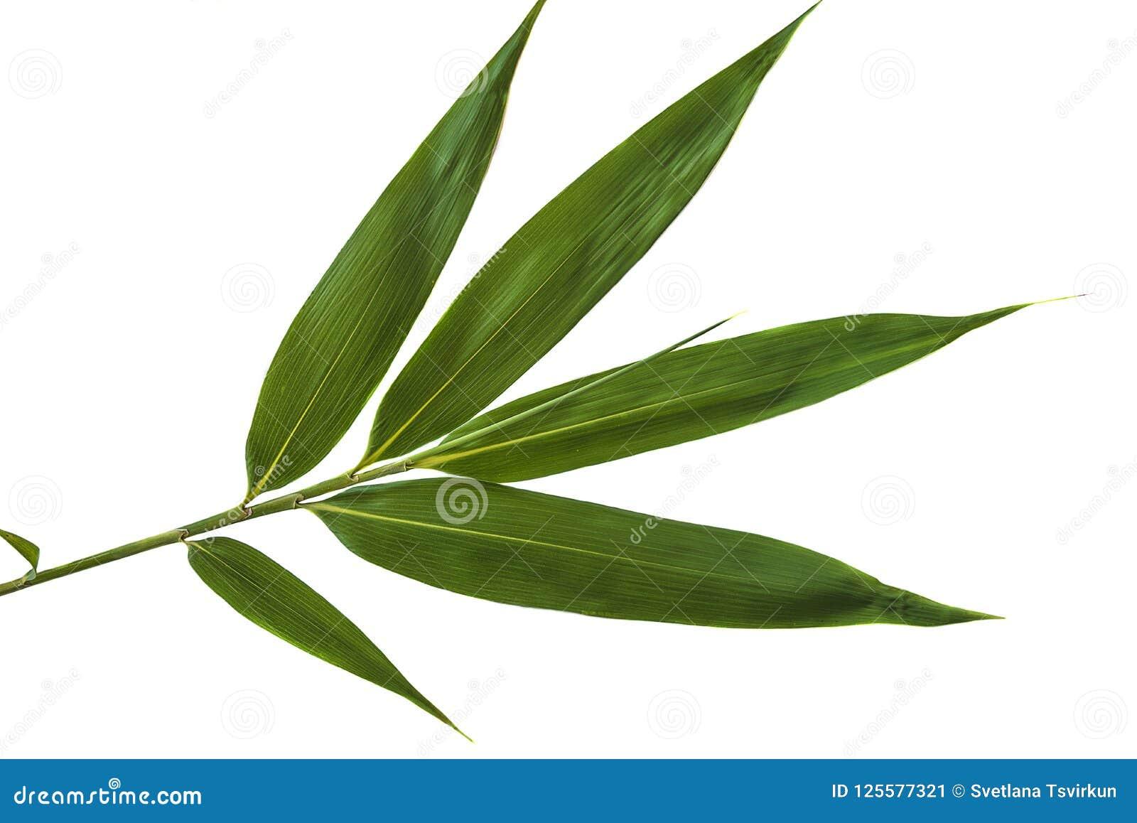 Groen bamboeblad