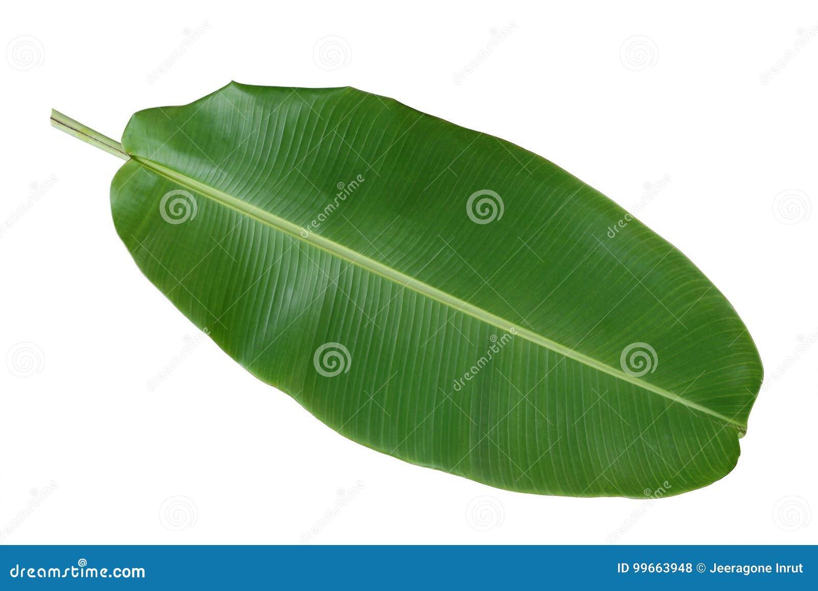 Groen banaanblad