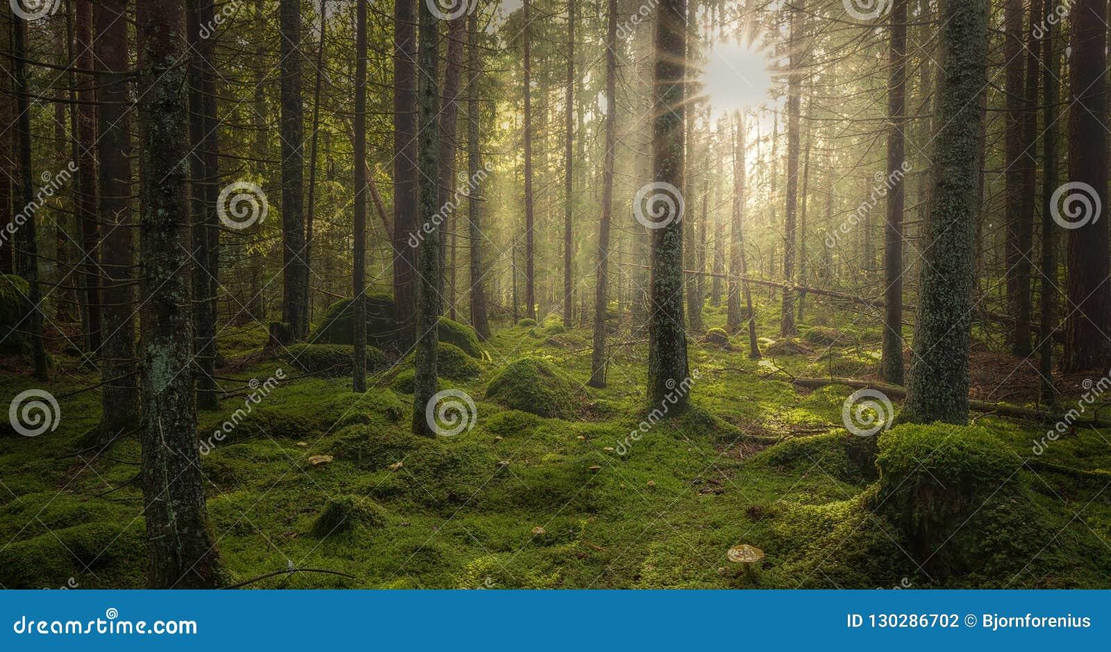 Groen bemost bos met mooi licht van zon het glanzen