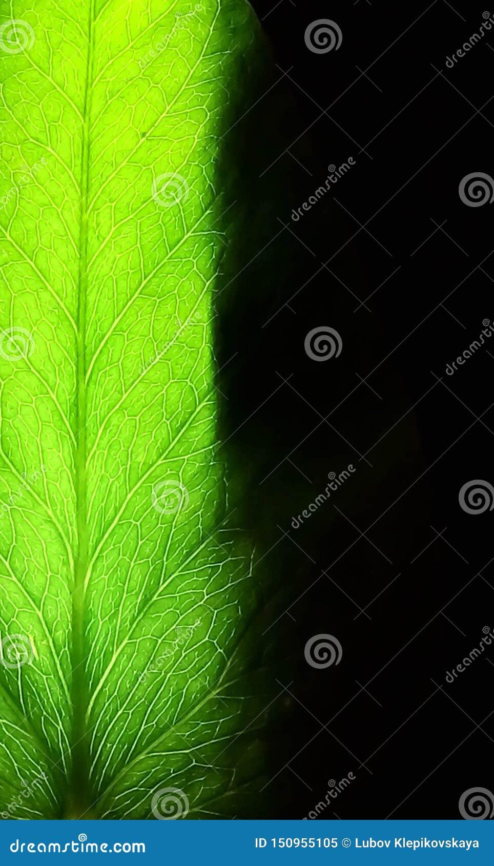 Groen blad op een zwarte achtergrond