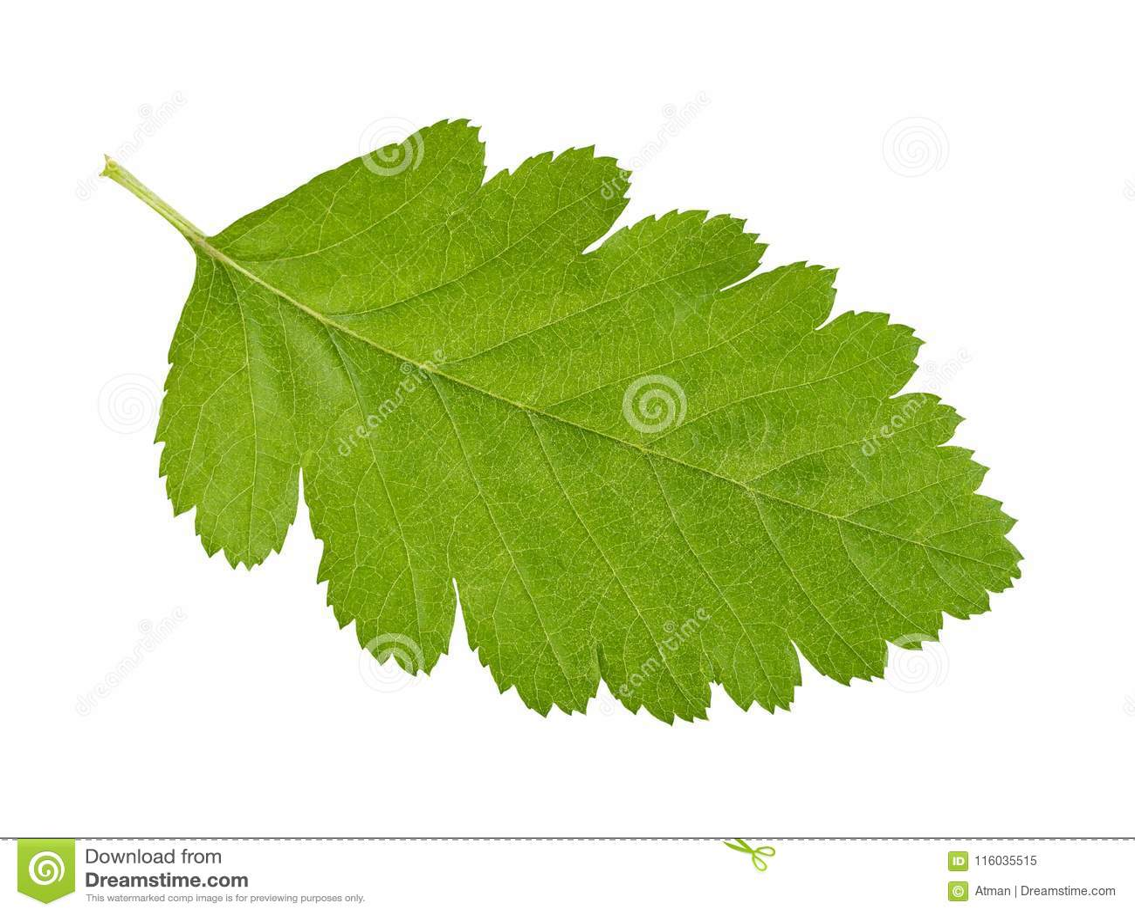 Groen blad op wit
