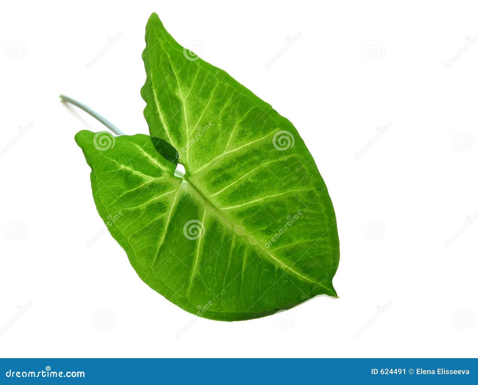 Groen blad over wit