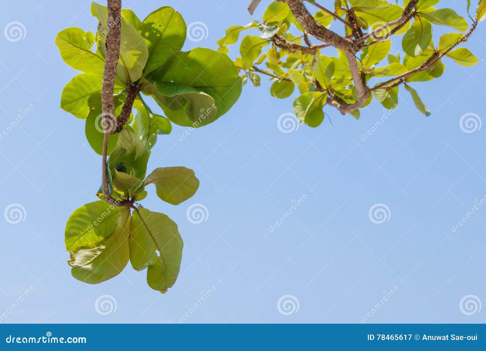 Groen boomblad met blauwe duidelijke hemel