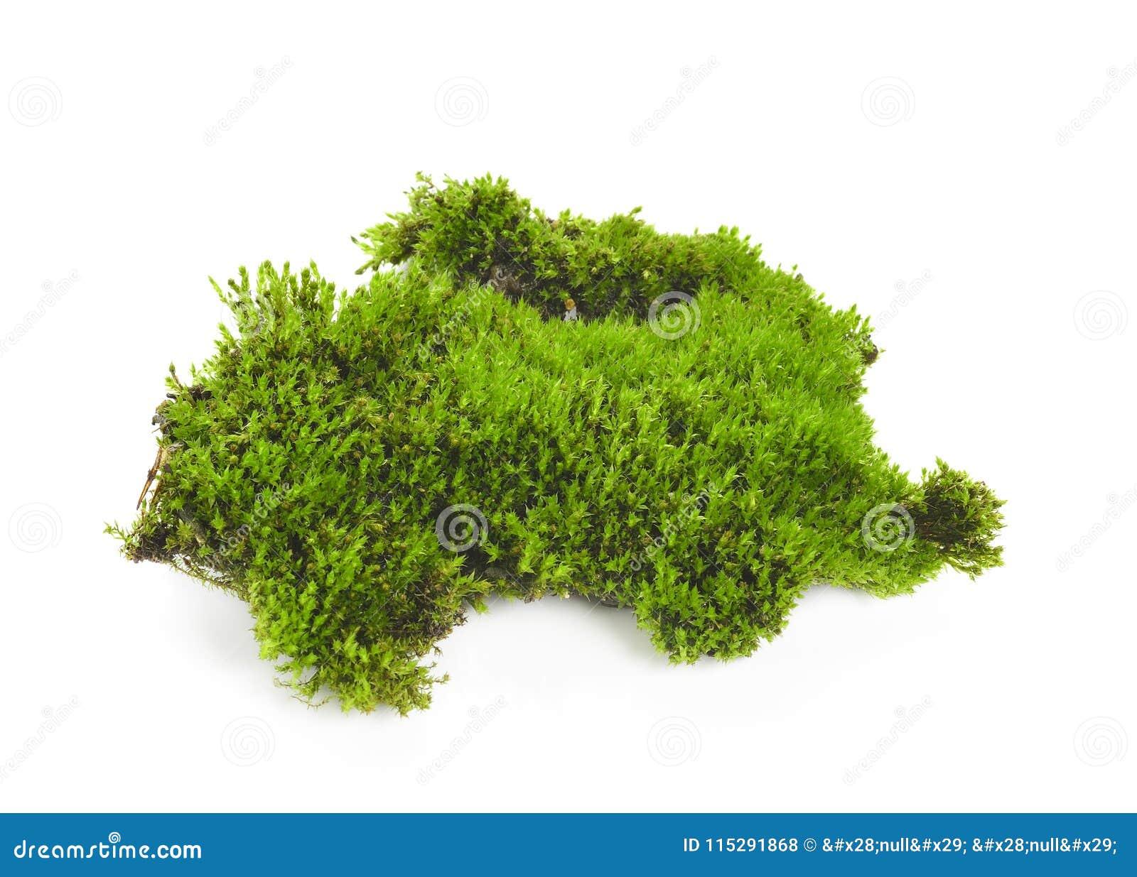 Groen die mos op witte bakground wordt geïsoleerd