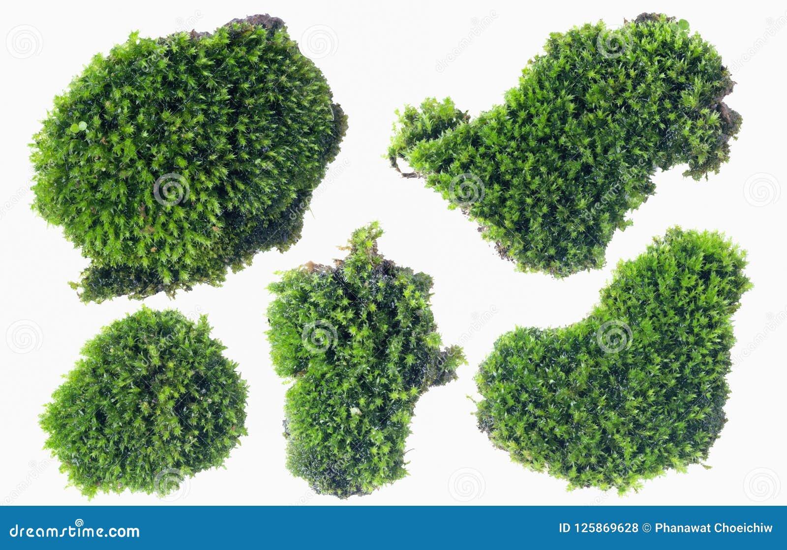 Groen die mos op witte dichte omhooggaand wordt geïsoleerd als achtergrond