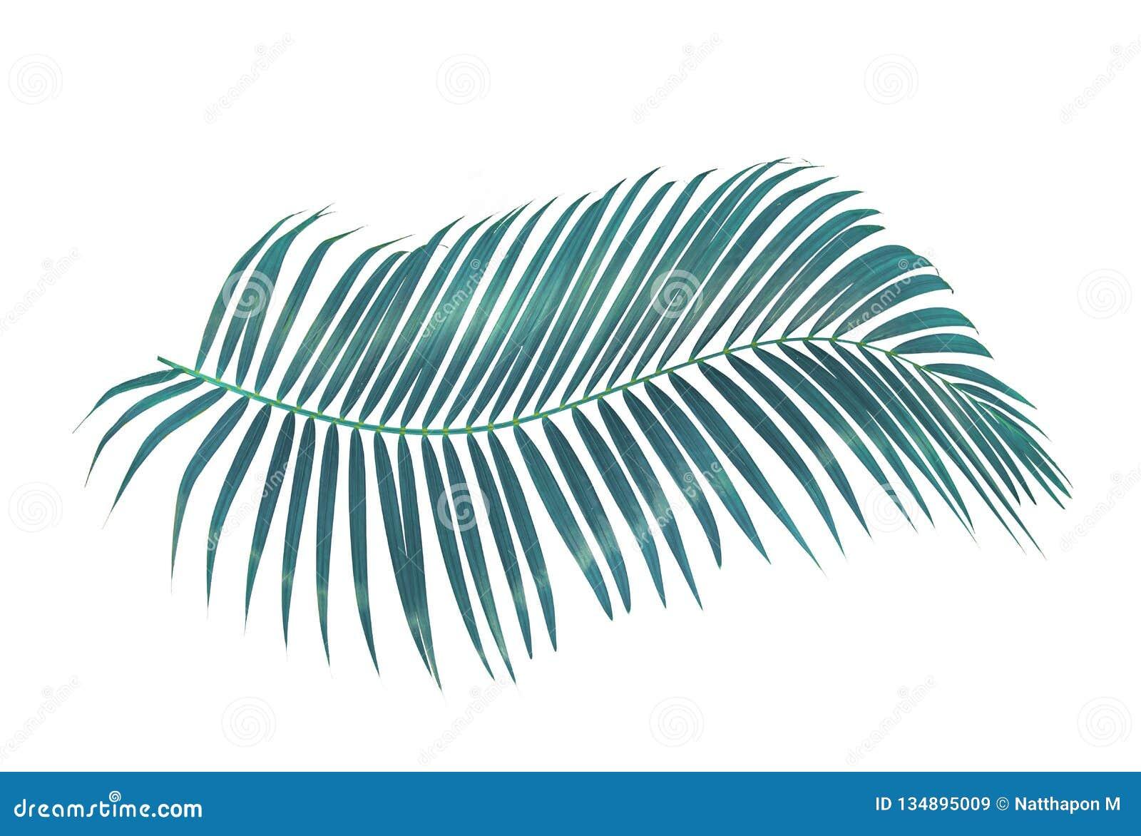 Groen die palmblad op witte achtergrond met het knippen van weg wordt geïsoleerd