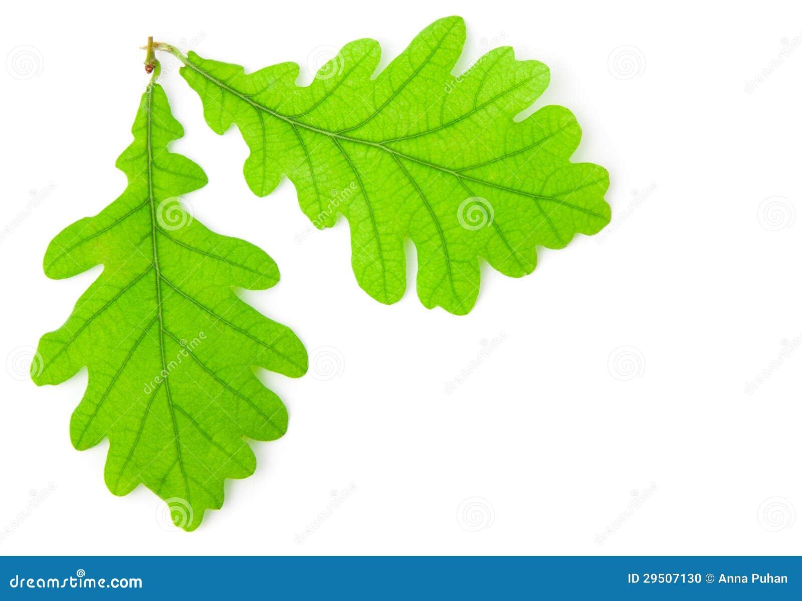 Groen eiken blad