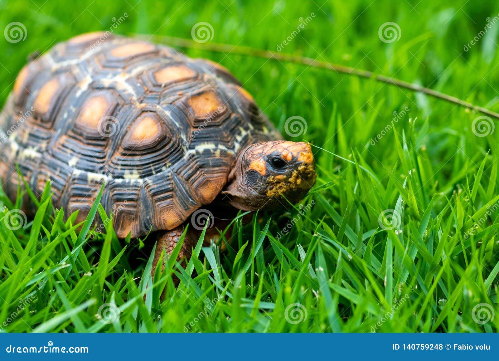 Groen en oranje Jabuti/Schildpad, stil op het gras die met het landschap camoufleren,