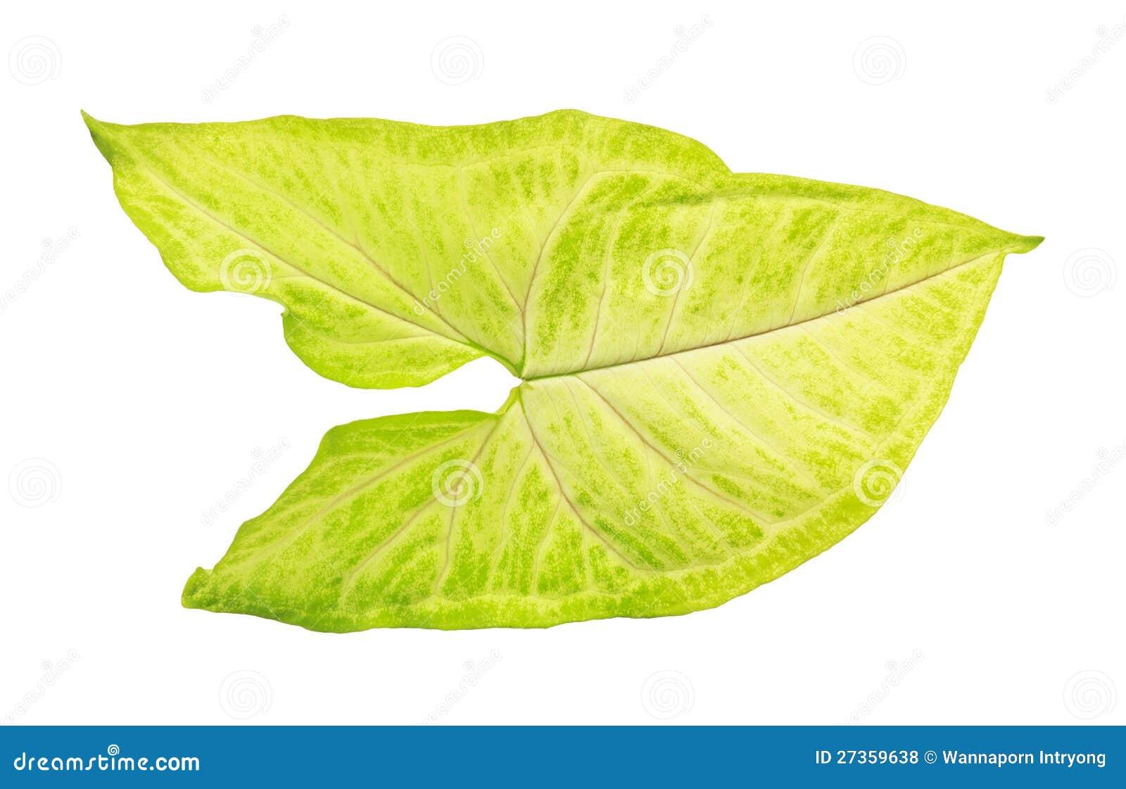 Groen en wit blad