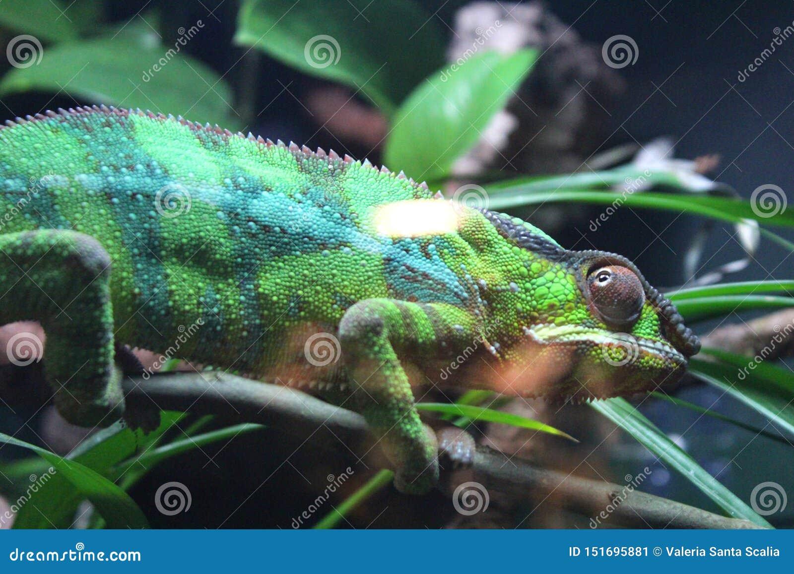 Groen gestreept kameleon op een tak