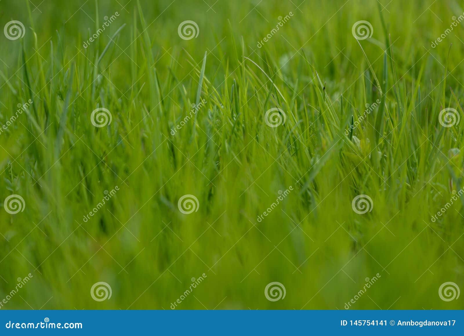 Groen gras het gras beweegt van de wind Vage achtergrond