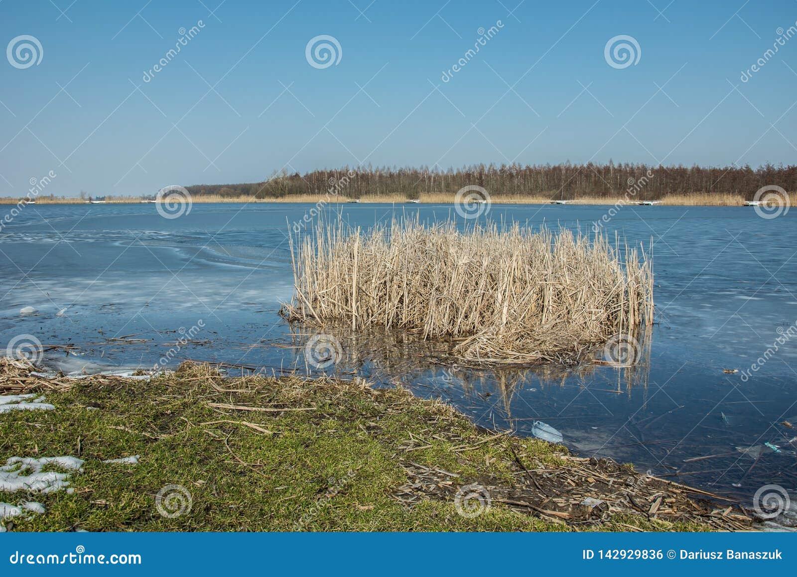 Groen gras op de rand van een bevroren meer en riet Horizon en blauwe hemel