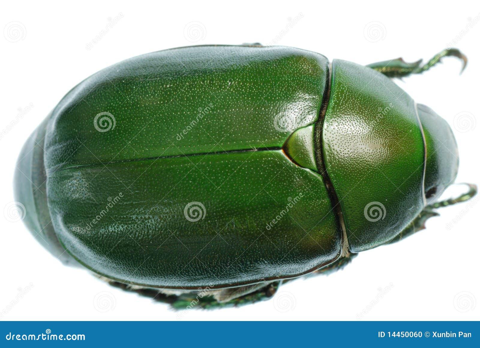 Groen keverinsect dat op wit wordt geïsoleerde