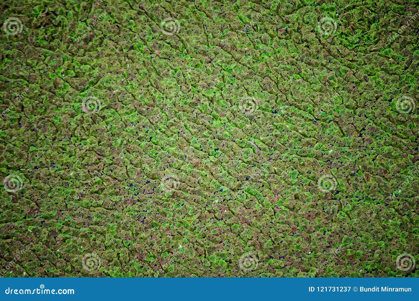Groen klein Fern Plant Floating On Water-Oppervlaktepatroon