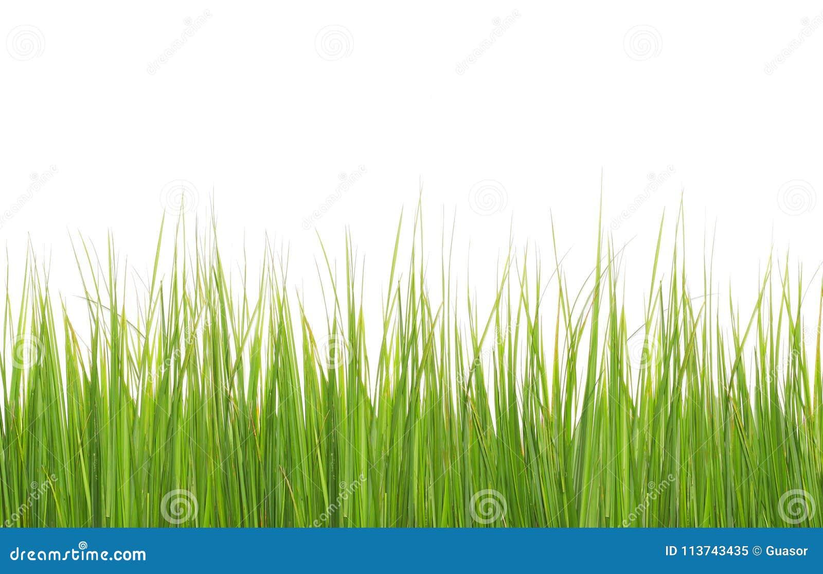 Groen lang die gras op wit wordt geïsoleerd