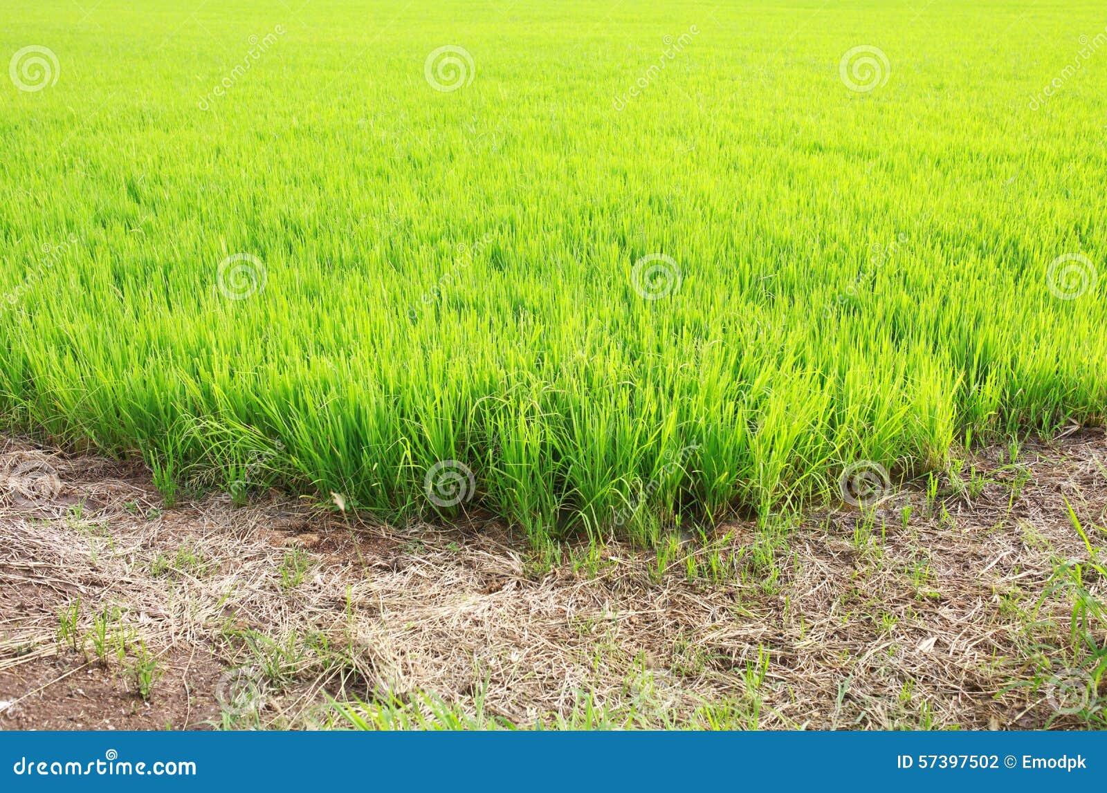 Groen padiepadieveld met grondweg