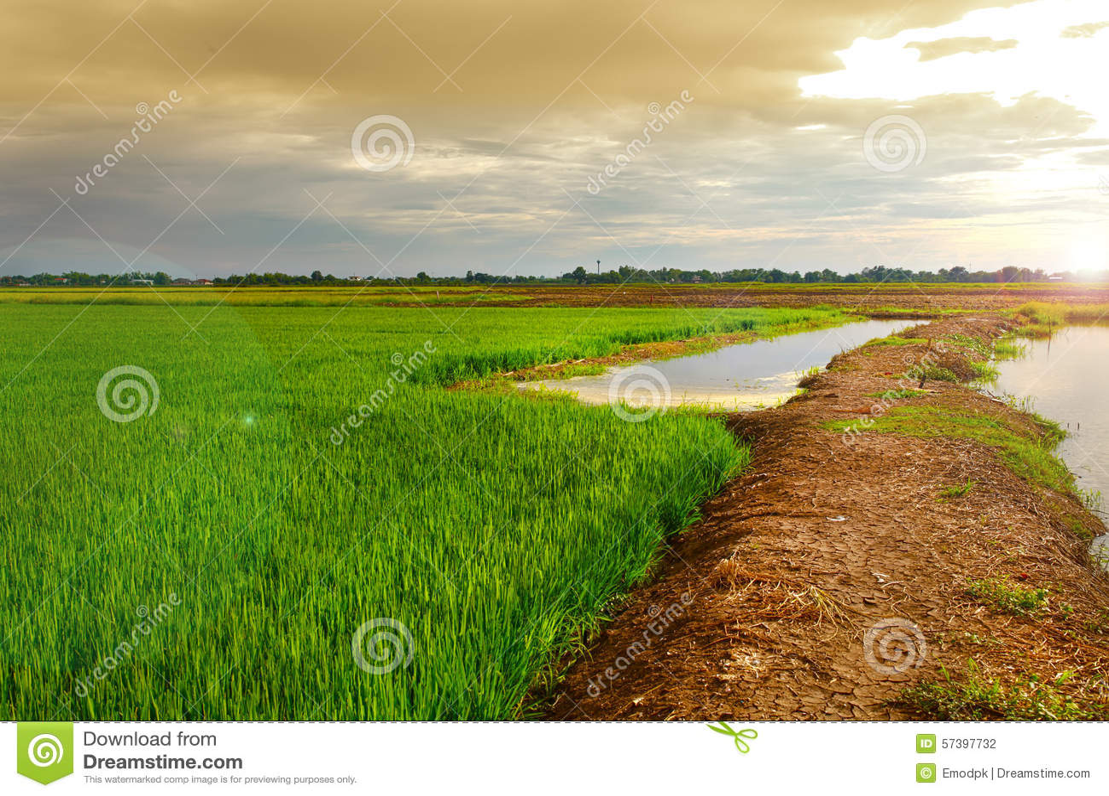 Groen padiepadieveld met lichte zon