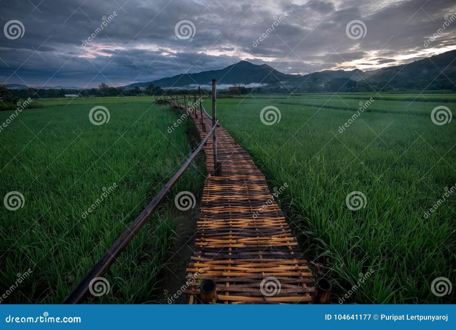Download Groen Padieveld In Nan Province, Thailand Stock Afbeelding - Afbeelding bestaande uit openlucht, strand: 104641177